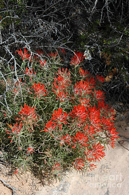 333p Indian Paintbrush Flower Art Print