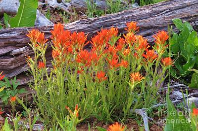 Photograph - Indian Paintbrush by Michele Penner