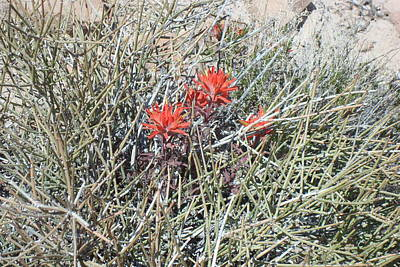 Photograph - Indian Paintbrush by Susan Woodward