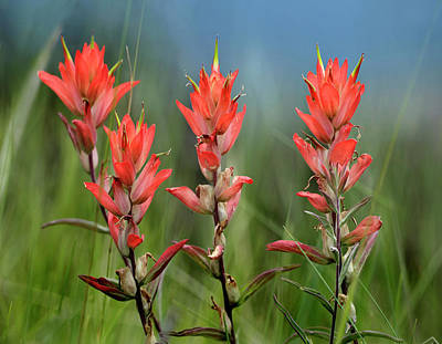 Indian Paintbrush Wildflowers, Colorado Art Print