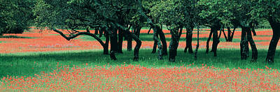 Flower Blooms Photograph - Indian Paintbrushes And Scattered Oaks by Panoramic Images