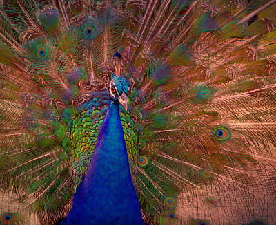 Photograph - Indian Peacock 2 by Deena Stoddard
