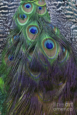 Photograph - Indian Peacock by Diane Macdonald