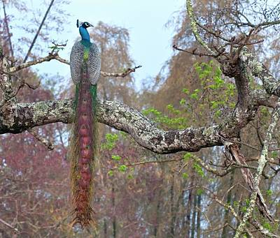 Peafowl Photograph - Indian Peacock by K Jayaram