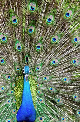 Audubon Park Photograph - Indian Peacock (pavo Cristatus by Michael Defreitas