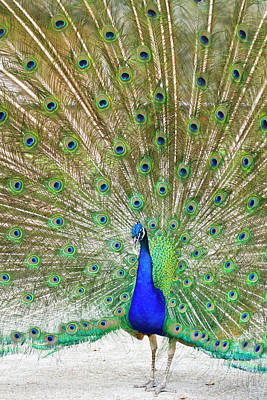 Indian Peafowl (pavo Cristata Art Print by Larry Ditto