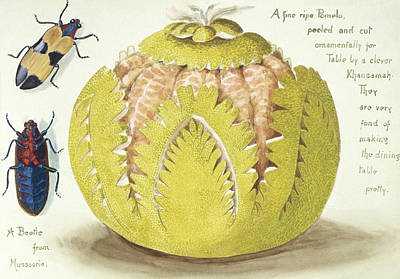 Maxima Wall Art - Photograph - Indian Pomelo by Natural History Museum, London/science Photo Library