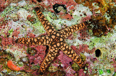 Indian Sea Star (fromia Indica Print by Pete Oxford