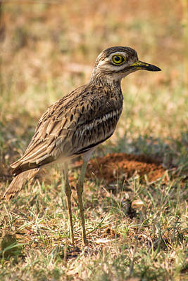 Kitchen Spices And Herbs - Indian stone-curlew or Indian Thick-knee by Vijay Sonar
