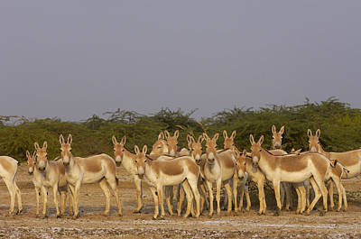 Kiang Photograph - Indian Wild Ass Herd Gujarat India by Pete Oxford