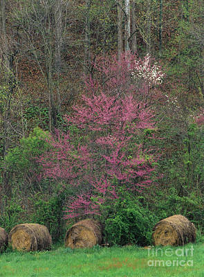 Indiana Dogwood Trees Photograph - Indiana Spring - Fm000092 by Daniel Dempster