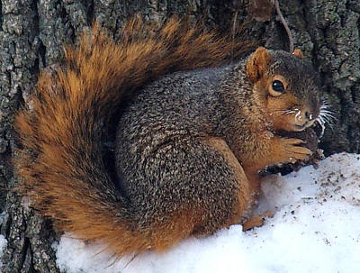 Indiana Squirrel In Winter With Nut Art Print by Steve Archbold
