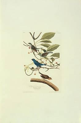 Indigo Buntings Wall Art - Photograph - Indigo Bunting by Natural History Museum, London/science Photo Library