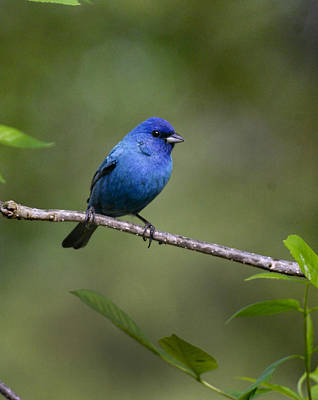Photograph - Indigo Bunting by Robert Camp