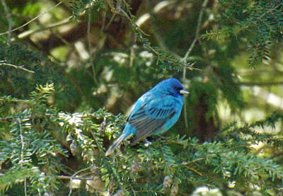 Photograph - Indigo Bunting Visit by Brenda Brown