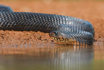 Indigo Snake (drymarchon Corais Art Print by Larry Ditto