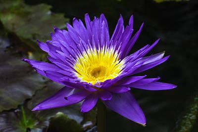 Photograph - Indigo Water Lotus by Gene Norris