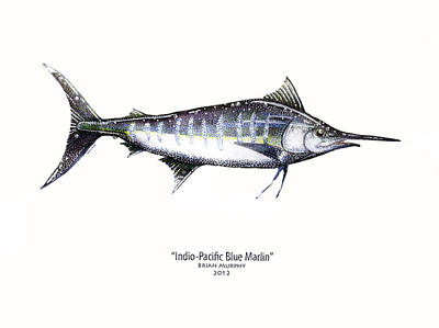 Blue Marlin Drawing - Indio-pacific Blue Marlin by Brian Murphy