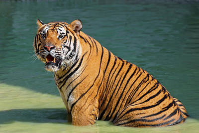 Thailand Wildlife Photograph - Indochinese Tiger Or Corbett's Tiger by Peter Adams