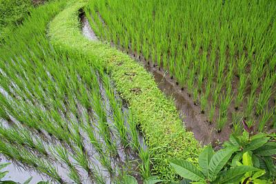 Indonesia, Bali Terraced Subak Rice Print by Emily Wilson