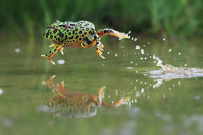 Photograph - Indonesia, Riau Islands, Frog Jumping by Shikheigoh