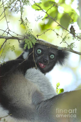 Photograph - Indri by Gregory G. Dimijian
