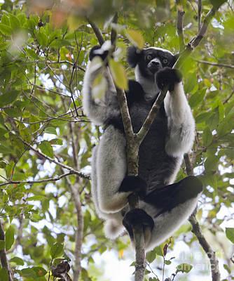 Photograph - Indri Indri Andasibe Mantadia National Park Madagascar by Liz Leyden