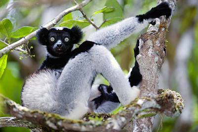 Animal Behavior Photograph - Indri Lemur Indri Indri Sitting by Panoramic Images