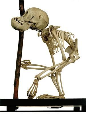 Infant Orangutan Skeleton Art Print by Ucl, Grant Museum Of Zoology