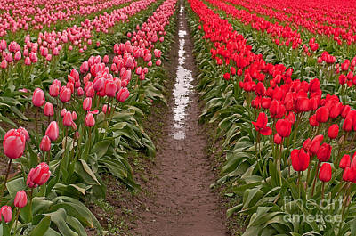 Photograph - Infinity Rows Or Red And Pink Tulips by Valerie Garner