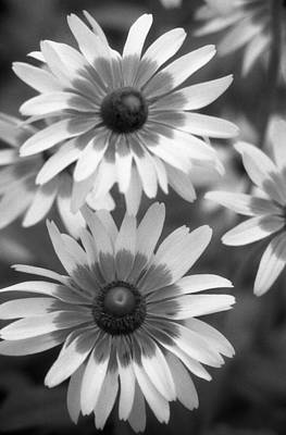 Photograph - Infrared - Brown-eyed Susan - Summer Light 01 by Pamela Critchlow