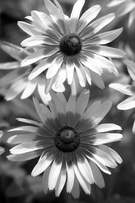 Photograph - Infrared - Brown-eyed Susan - Summer Light 02 by Pamela Critchlow