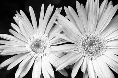 Photograph - Infrared - Gerber Daisies by Pamela Critchlow