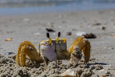 Photograph - Injured Sand Crab IIi by Gene Berkenbile
