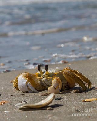 Photograph - Injured Sand Crab Iv by Gene Berkenbile