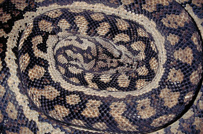 Python Photograph - Inland Carpet Python  by Karl H Switak