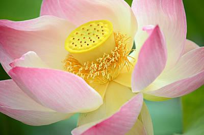Lotus Flower Photograph - Inner Beauty 2 by Fraida Gutovich