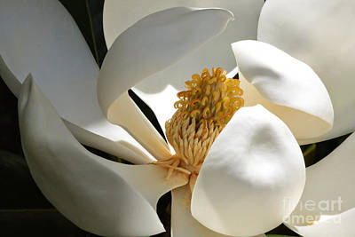Photograph - Inner Beauty Magnolia by Carol Groenen