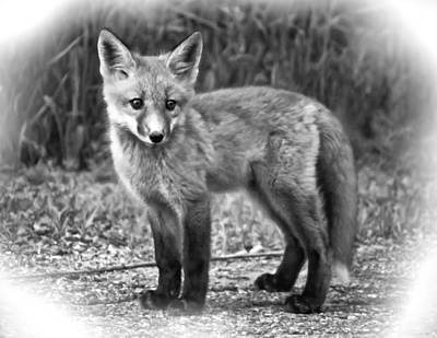 Fox Photograph - Innocence II Paint Bw by Steve Harrington