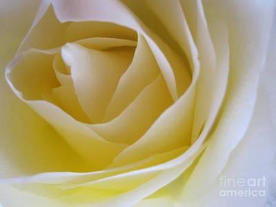 Photograph - Innocence White Rose 4 by Tara  Shalton