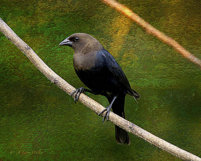 Print featuring the digital art Inquisitive Cowbird by J Larry Walker