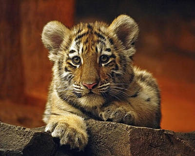 Inquisitive Cub Art Print