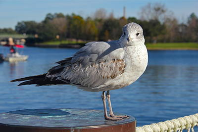 Photograph - Inquisitive Gull by Denise Mazzocco