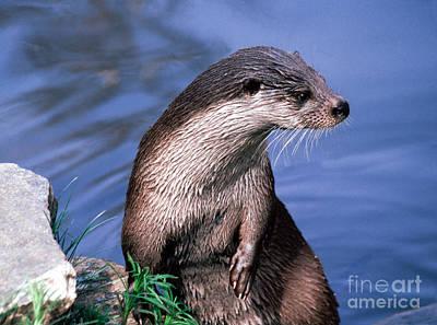 Otter Photograph - Inquisitive Otter by Liz Leyden