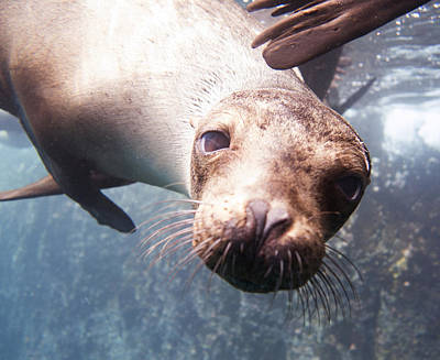 Photograph - Inquisitive Sea Lion by Julie VanDore