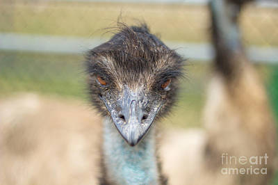 Photograph - Inquisitive Stare Of An Ostrich by Rene Triay Photography