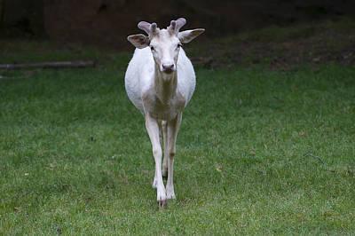 Framed Art Digital Art - Inquisitive Young White Fallow Deer  by Chris Flees