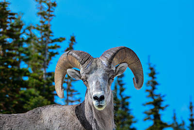 Photograph - Inquisitve Big Horn by Michael Gooch