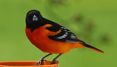 Photograph - Inquisitve Oriole by Bruce Bley