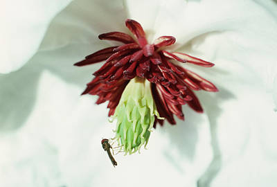 Hover Wall Art - Photograph - Insect Pollination by Dr Jeremy Burgess/science Photo Library